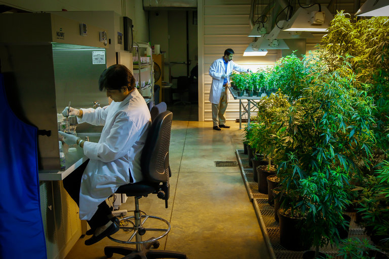 Researchers+claim+poor+quality+government+cannabis+complicates+research
