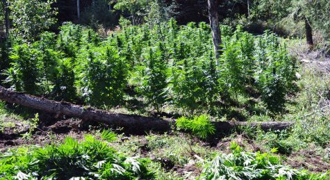 Thousands of illegal grows in California could attract federal intervention
