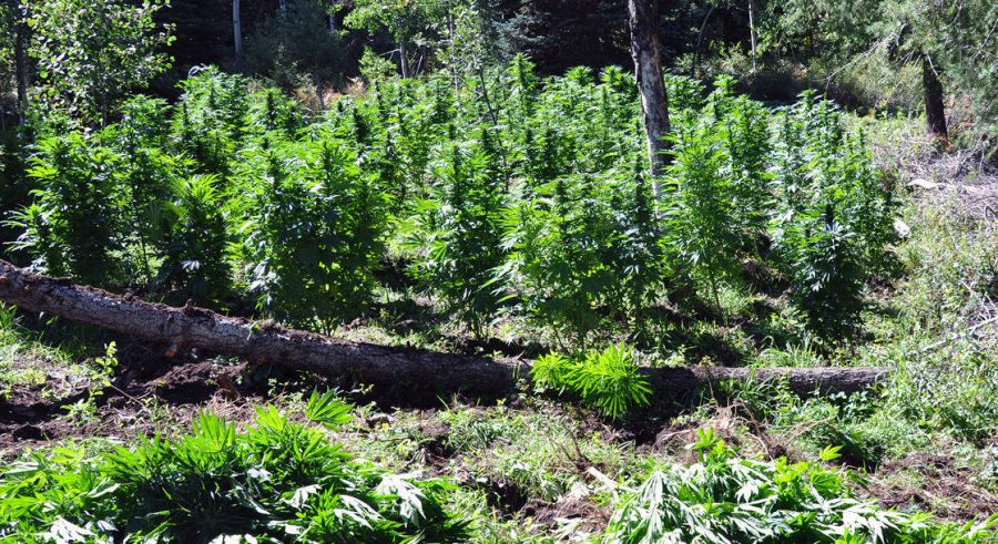 Pictured:  An illegal grow site in California