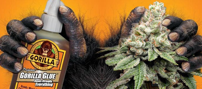 Settlement+reached+between+Gorilla+Glue+Co.+and+cannabis+company+in+trademark+infringement+suit