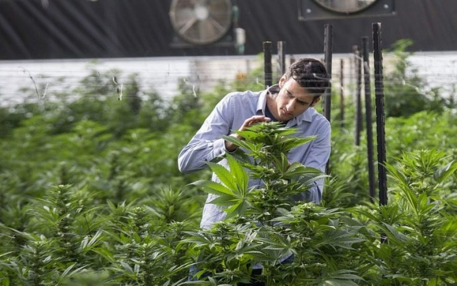 DEA wants researchers to grow less cannabis for medical studies in 2018