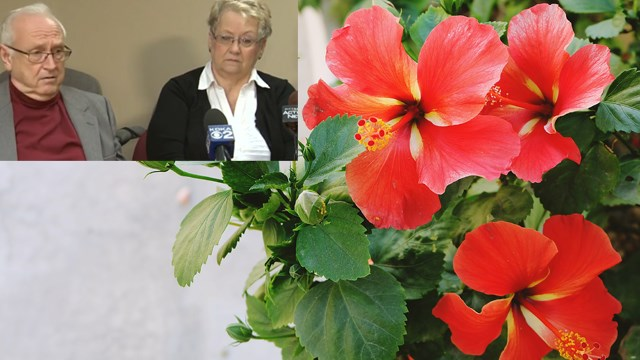 Lawsuit: couple arrested after hibiscus plants mistaken for cannabis