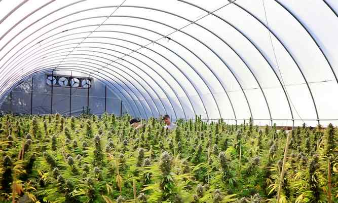 California's new ordinance limits cannabis farms to one acre per person