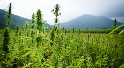 California and Colorado become partners, research the genetics of hemp
