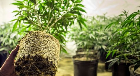 Washington State considers three alternatives for cannabis home-grows