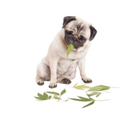 Using cannabis to treat your pet: An up-and-coming segment of the market