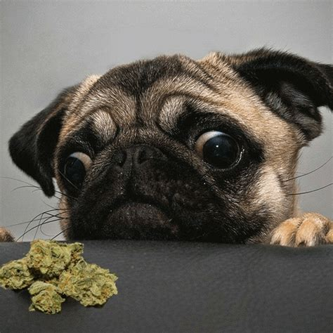 5 things you need to know before giving medical cannabis to your pet