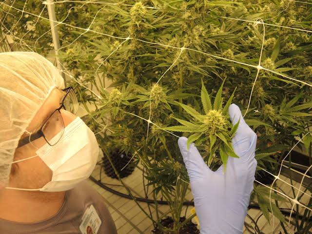 Colorado cannabis cultivators want specific organic-like destinations for their crops