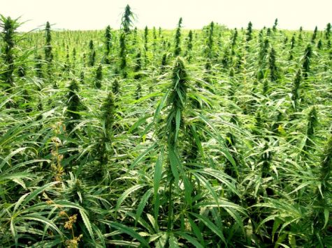 Flourishing hemp industry in the U.S. is attracting greenhouse producers