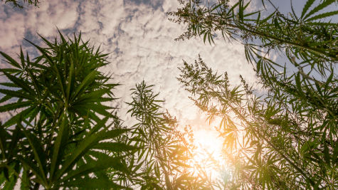 Scanning technology could clarify difference between hemp and cannabis